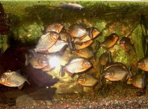 Piranha Beslenme