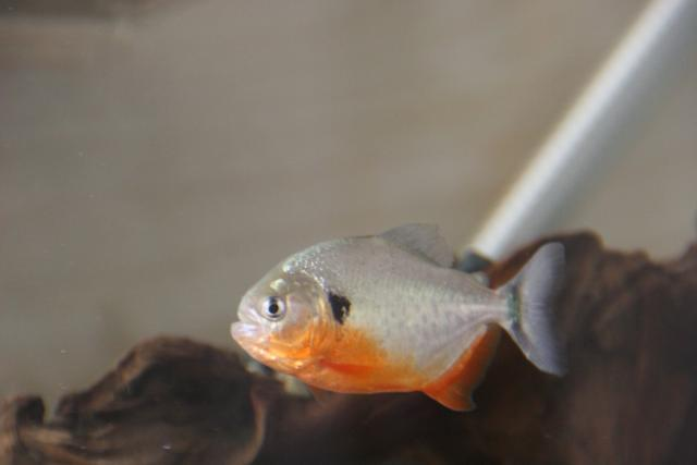 Pygocentrus-Cariba-11