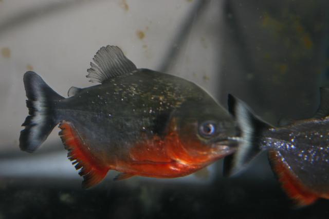 Pygocentrus-Cariba-3