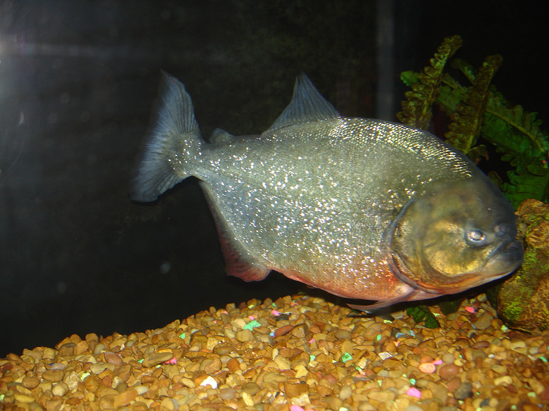 Pygocentrus-Nattereri-16