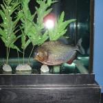 Pygocentrus-Nattereri-17
