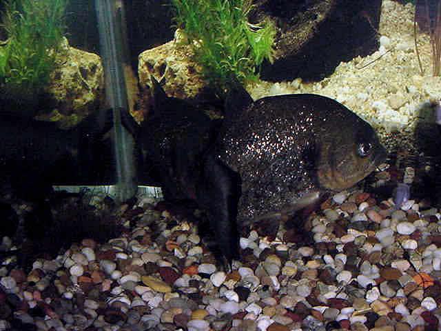 Pygocentrus-Nattereri-31