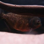 Pygocentrus-Nattereri-9