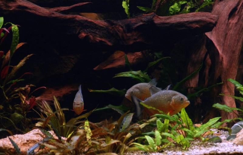Pygocentrus-Piraya-29
