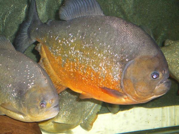 Pygocentrus-Piraya-39