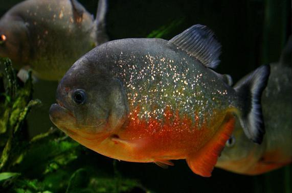 Pygocentrus-Piraya-43