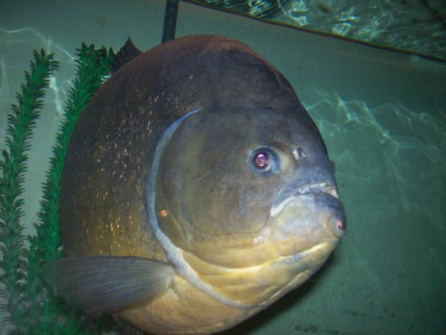Pygocentrus-Piraya-46