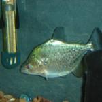 Serrasalmus Compressus-13