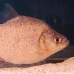 Serrasalmus Compressus-21