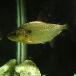 Serrasalmus-Elongatus-19