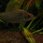 Serrasalmus-Elongatus-20