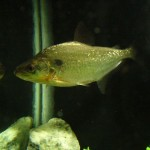 Serrasalmus-Elongatus-73