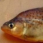 Serrasalmus-Gibbus-1