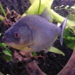 Serrasalmus-Gibbus-2