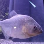 Serrasalmus-Gibbus-4