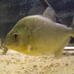 Serrasalmus-Gibbus-7