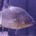 Serrasalmus-Gibbus-9