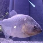 Serrasalmus Gibbus