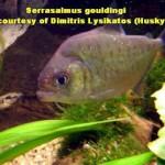 Serrasalmus-Gouldingi-1