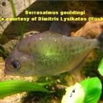 Serrasalmus-Gouldingi-2