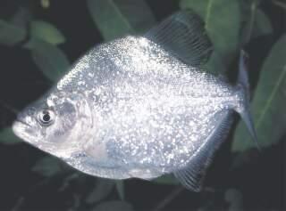 Serrasalmus Hastatus-3