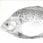 Serrasalmus-Humeralis-4