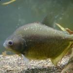 Serrasalmus-Maculatus-19