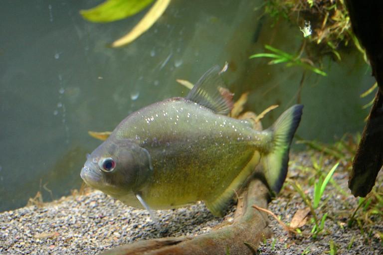 Serrasalmus-Maculatus-20