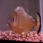 Serrasalmus-Maculatus-25