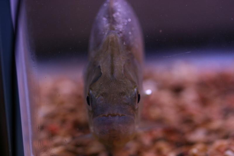 Serrasalmus-Maculatus-26