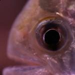 Serrasalmus-Maculatus-30