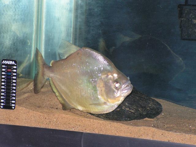Serrasalmus-Maculatus-33