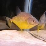 Serrasalmus-Maculatus-35