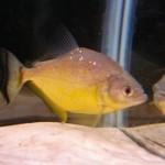 Serrasalmus-Maculatus-36