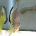 Serrasalmus-Maculatus-38