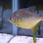 Serrasalmus-Maculatus-39