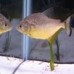 Serrasalmus-Maculatus-40