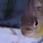 Serrasalmus-Maculatus-41