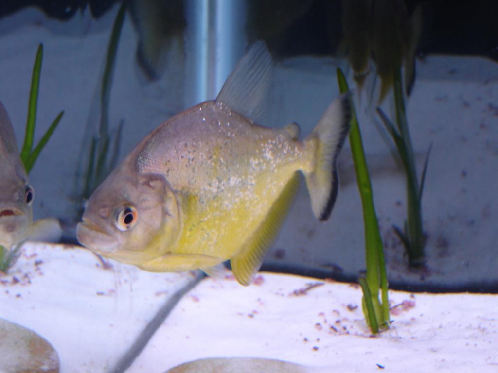 Serrasalmus-Maculatus-42