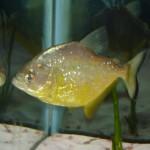 Serrasalmus-Maculatus-44