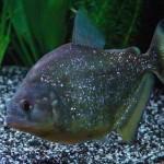 Serrasalmus-Maculatus-50