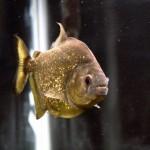 Serrasalmus-Maculatus-55