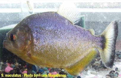 Serrasalmus-Maculatus-56