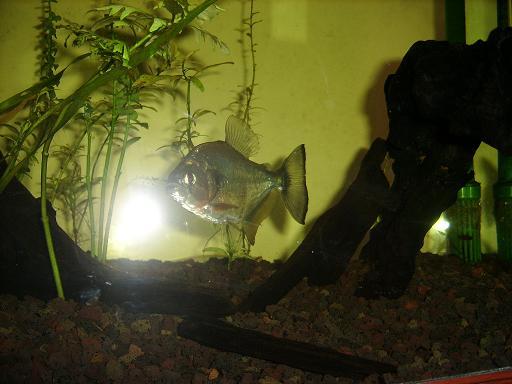 Serrasalmus-Maculatus-7