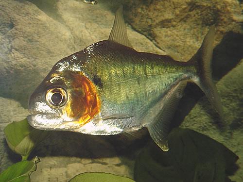 Serrasalmus-Manueli-21