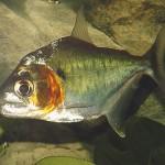 Serrasalmus-Manueli-52