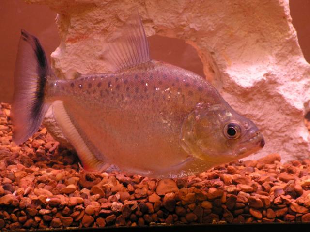 Serrasalmus-Marginatus-1