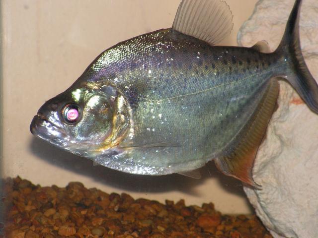 Serrasalmus-Marginatus-2