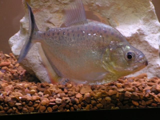 Serrasalmus-Marginatus-5