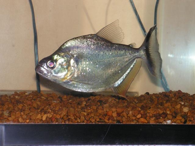 Serrasalmus-Marginatus-6